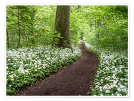 Premium poster Path through the Forest full of Wild Garlic