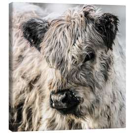 Canvas print  Galloway calf - Christian Krammer