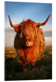 Acrylic print  Highland Cattle - Martina Cross
