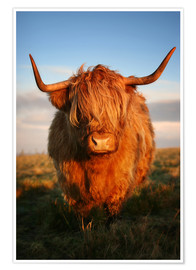 Poster Highland Coo