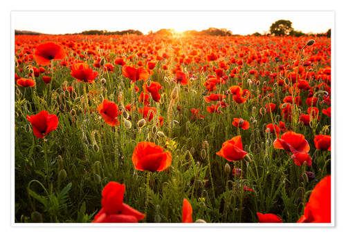 Premium poster Poppy field with sunset