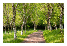 Premium poster Idyllic Beech Forest during Spring
