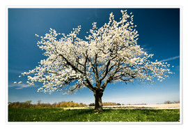 Premium poster Single blossoming tree in spring
