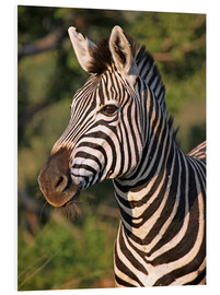 Foam board print  Zebra in Africa, wildlife - wiw