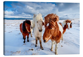 Canvas print  icelandic horses in northern Iceland - Sascha Kilmer