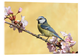 Acrylic print  Blue tit on a branch of cherry - Uwe Fuchs