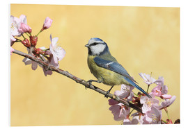 Foam board print  Blue tit on a branch of cherry - Uwe Fuchs