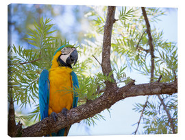 Alex Saberi - Blue and yellow macaw