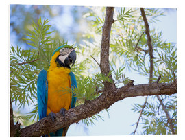 Forex  Blue and yellow macaw - Alex Saberi