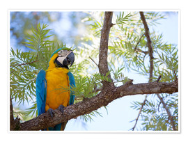 Premium poster  Macaw with yellow breast - Alex Saberi