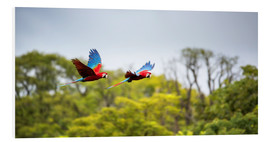 Foam board print  Green-winged Macaws on journey - Alex Saberi