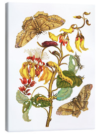 Canvas  Coral tree and silkworm - Maria Sibylla Merian