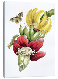 Canvas  Flowering banana and Automeris - Maria Sibylla Merian