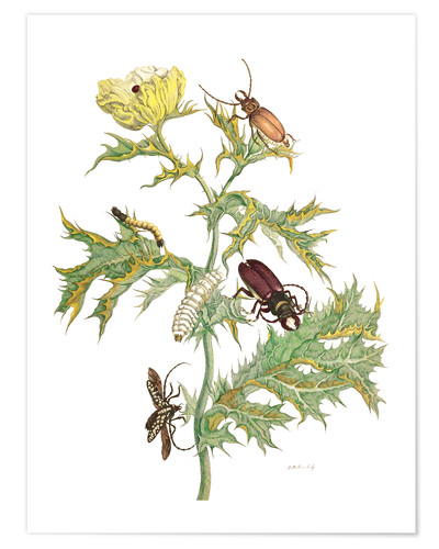 Premium poster Mexican Prickly Poppy and longhorn beetles