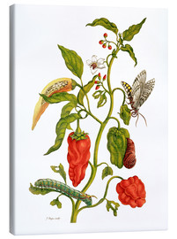 Canvas  Peppers and insects - Maria Sibylla Merian
