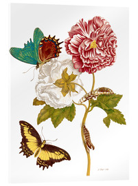 Acrylic print  Roses with Lepidoptera Metamorphosis - Maria Sibylla Merian