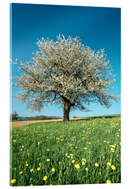 Acrylic print  Blossoming cherry tree in spring on green field with blue sky - Peter Wey