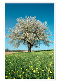 Premium poster  Blossoming cherry tree in spring on green field with blue sky - Peter Wey