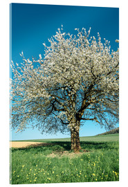 Acrylic glass  Blossoming cherry tree in spring on green field with blue sky - Peter Wey