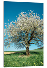 Aluminium print  Blossoming cherry tree in spring on green field with blue sky - Peter Wey