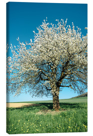 Canvas  Blossoming cherry tree in spring on green field with blue sky - Peter Wey