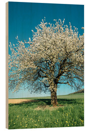 Wood print  Blossoming cherry tree in spring on green field with blue sky - Peter Wey