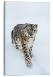 Canvas print  Snow Leopard in deep snow - Ingo Gerlach