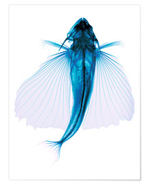 Premium poster  Flying fish, X-ray - D. Roberts