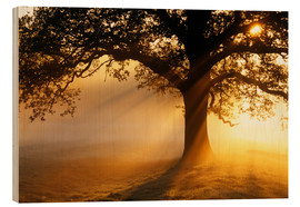 Wood print  Oak tree at sunrise - Jeremy Walker