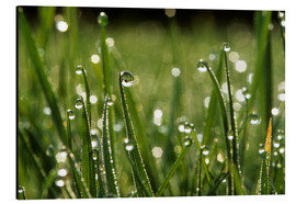 Aluminium print  Dew drops on grass - Jeremy Walker