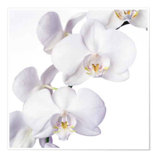 Premium poster Orchid flowers
