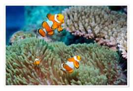 Premium poster  False clown anemonefish - Georgette Douwma