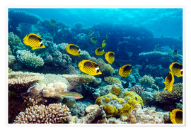 Premium poster  Red Sea raccoon butterflyfish - Georgette Douwma