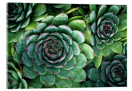 Acrylic print  'Hens and chicks' succulents - Kaj R. Svensson