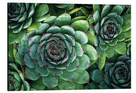 Alu-Dibond  'Hens and chicks' succulents - Kaj R. Svensson