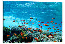 Canvas print  Lyretail anthias and corals - Georgette Douwma