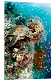 Acrylic print  Green turtle - Matthew Oldfield