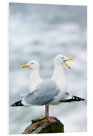 Foam board print  Two Herring Gulls - Duncan Shaw