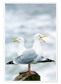 Premium poster Two Herring Gulls
