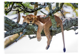 Acrylic glass  Lioness, resting - PhotoStock-Israel