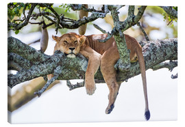 Canvas print  Lioness, resting - PhotoStock-Israel