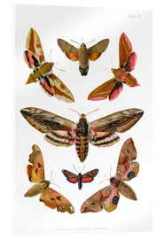Acrylic print  British moths