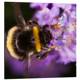 Alu-Dibond  Bumble bee collecting pollen - Power and Syred