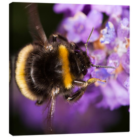 Canvas print  Bumble bee collecting pollen - Power and Syred
