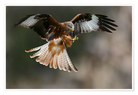 Premium poster  Red kite - Linda Wright