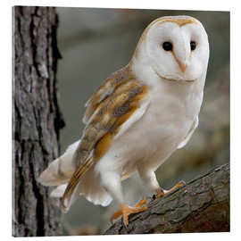 Acrylic print  Portrait photograph of a Barn Owl - Linda Wright
