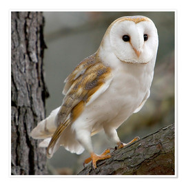 Premium poster  Portrait photograph of a Barn Owl - Linda Wright