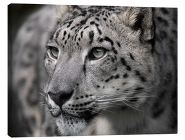 Canvas print  Snow leopard - Linda Wright