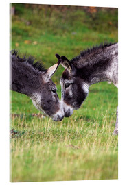 Duncan Shaw - Donkeys touching noses
