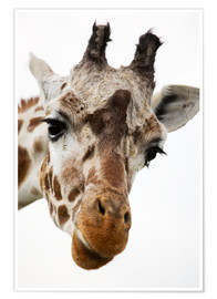 Premium poster  Giraffe - Power and Syred